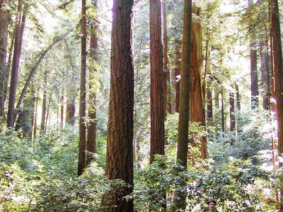 Henry Cowell Redwood SP  |  Coast redwood