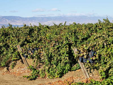San Joaquin Valley  |  Grape cultivation