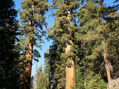 Sequoia NP  |  Sierra redwood
