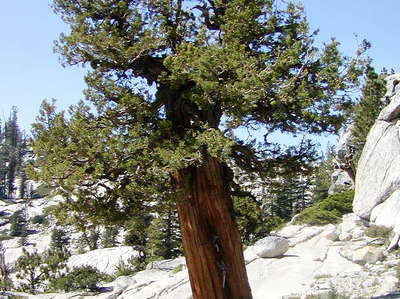Yosemite NP  |  Western juniper at Olmsted Point