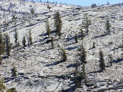 Yosemite NP  |  Conifer trees on granite