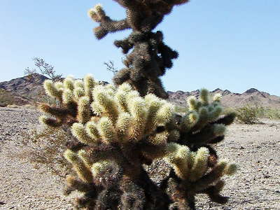Colorado Desert  |  Teddy-bear cholla