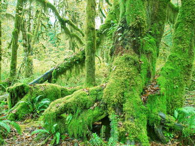Olympic NP  |  Hoh Rainforest