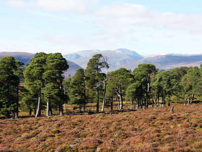 Cairngorms  |  Treeline area and Cairn Toul