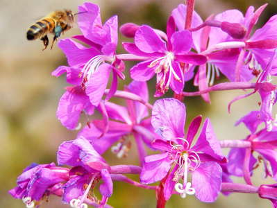 Arsvågen  |  Fireweed with bee
