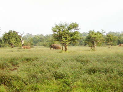 Wasgamuwa NP  |  Savanna with elephants