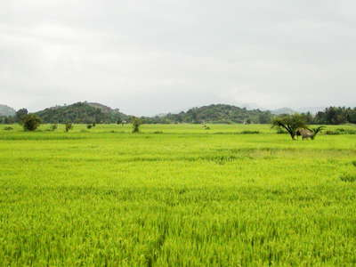 Hettipola  |  Rice cultivation