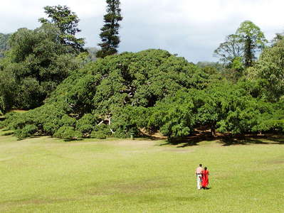 Peradeniya Royal Botanical Gardens with weeping fig