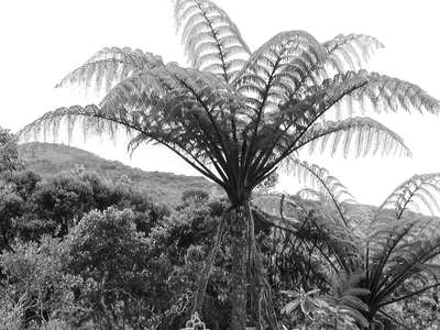 Horton Plains NP  |  Tree fern