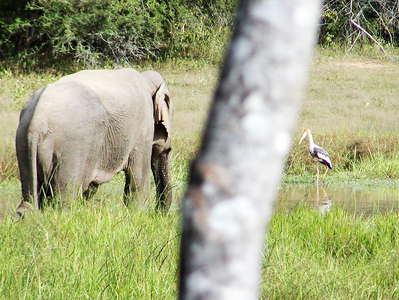 Yala NP  |  Elephant and water bird