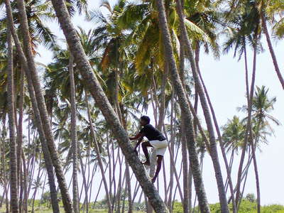 Tangalle  |  Coconut climber