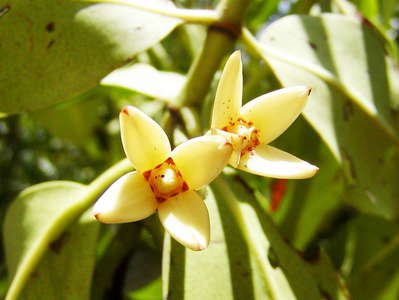 Negombo  |  Flowers of Rhizophora mucronata