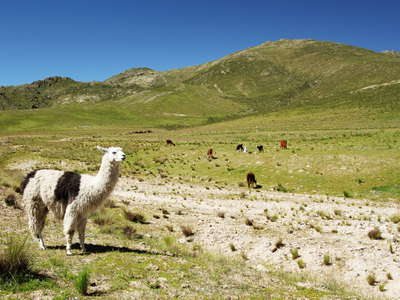 Paso El Infernillo  |  Alpine grassland with llamas