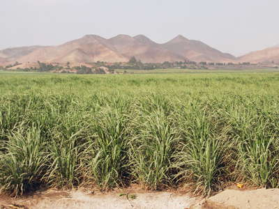 Paramonga  |  Sugar cane cultivation