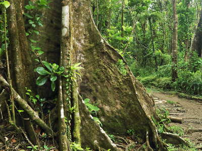 Morne Trois Pitons NP | Rainforest with buttresses