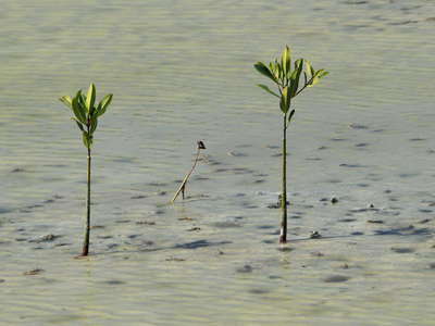 Les Salines | Mangroves with viviparous seedlings